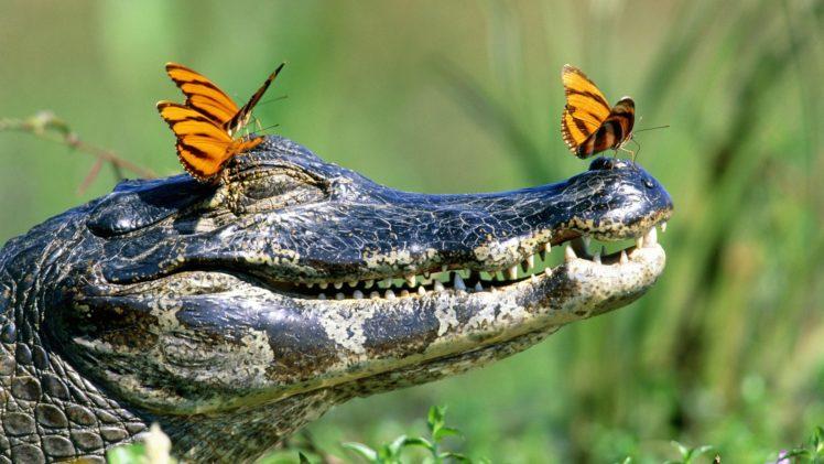 crocodile wallpapers hd desktop