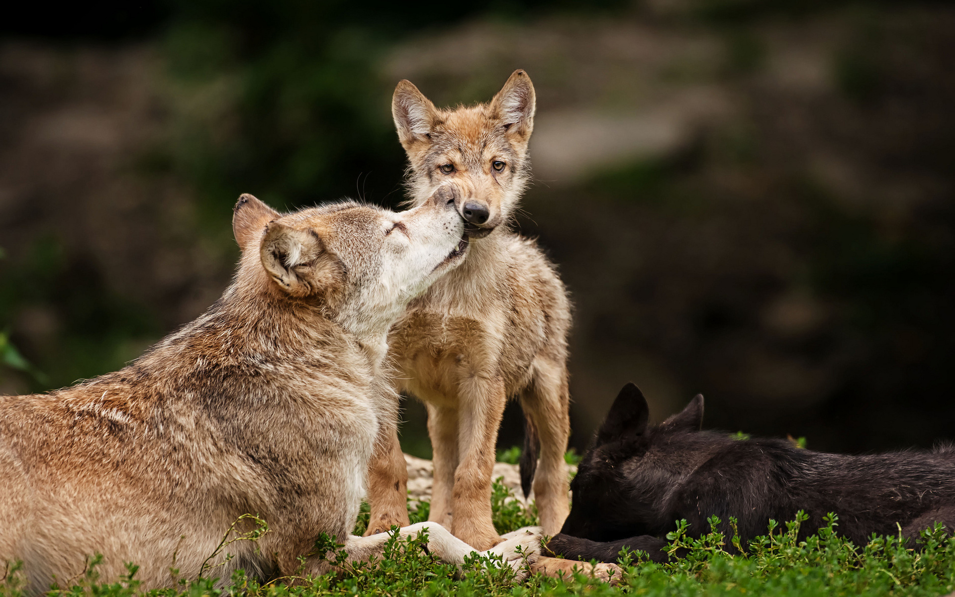 Cute Babies Wallpapers Download Free Animals Wolf Wolves Wildlife Predators Babies Cubs