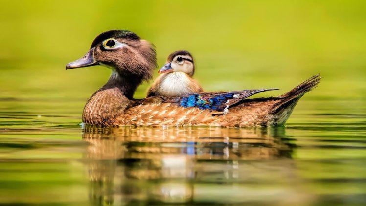 Cute Ducks In Water Wallpaper Animal Cute Baby Beauty Lake Water Bird Duck Duck