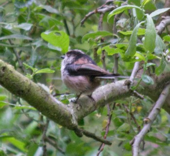 008 young long tailed tit