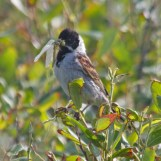 009 reed bunting with damselfly