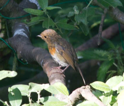 013 Young Robin