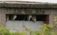 Four young Barn Owls-1