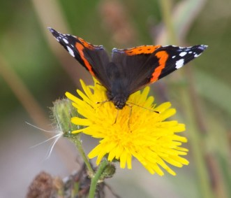 002 Red Admiral