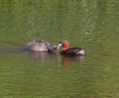 003 Little Grebe feeding young with fish_edited-1