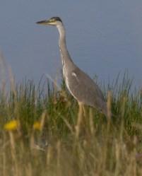 005 Young Heron