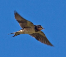 024 Swallow with ant