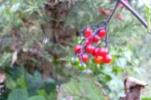 spider on web & berries