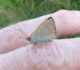 P1010046 Small Copper