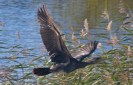 019 Cormorant flying off fishing pond