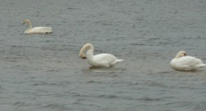 P1010049 Whooper and Mute swans (2)
