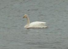 P1010051 Lone Whooper Swan
