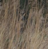 001 Roe Deer in long grass_edited-1
