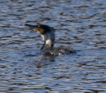 002 Cormorant with white patch on neck_edited-1
