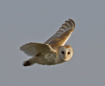 003 Barn owl N End_edited-2