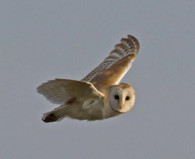 003 Barn owl N End_edited-2