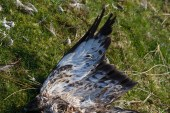 009 Dead Buzzard_edited-2
