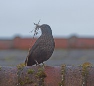 014 Female Blackbird with nesting material_edited-1