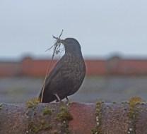 014 Female Blackbird with nesting material_edited-1