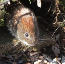IMG_8566 ANOTHER VOLE SAT