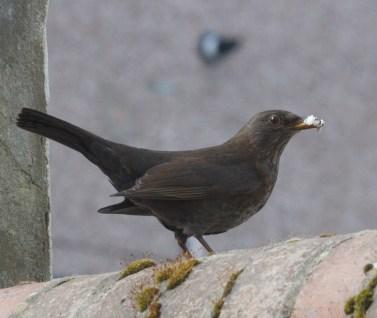 004 Parent Blackbird with food_edited-2