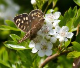 007 Speckled Wood on Hawthorn Blossom_edited-2