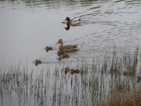 P1010225 Mallard family on pond 18