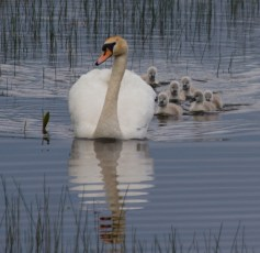 001 Swan with six cygnets_edited-2