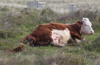 002 Calf being born 1_edited-2