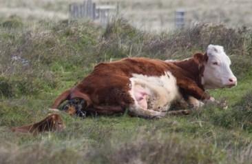 002 Calf being born 1_edited-2