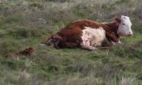 003 Calf being born 2_edited-2