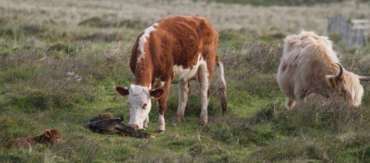 007 Calf being born 6_edited-2