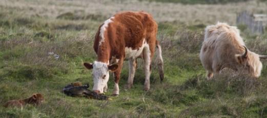 007 Calf being born 6_edited-2