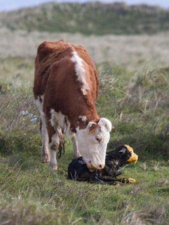 008 Calf being born 7_edited-2