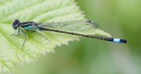 012 Male Blue-tailed Damselfly_edited-2