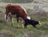 013 Calf being born 12_edited-2