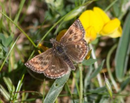037 Dingy Skipper_edited-2