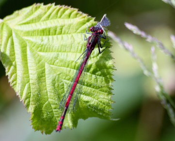 IMG_0199 Large Red Damselfly eating a moth