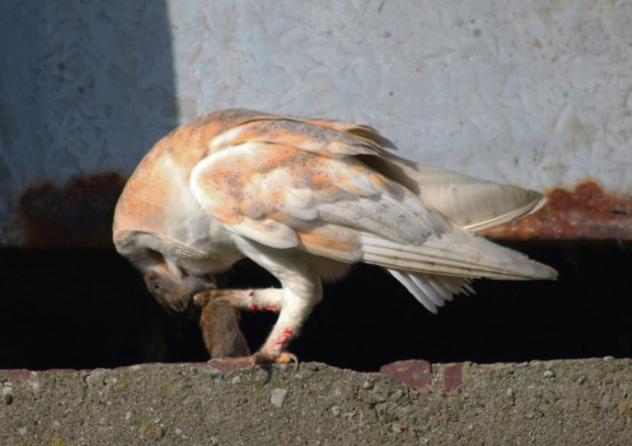 IMG_8697 Barn owl with Vole