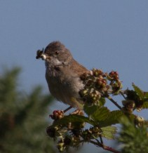 001 Whitethroat with food_edited-2