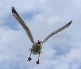004 Attacking Herring Gull_edited-2