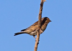 006 Female Linnet_edited-2