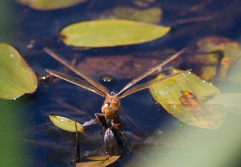 010 Brown Hawker Laying eggs_edited-2