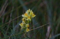 015 Common Toadflax_edited-1