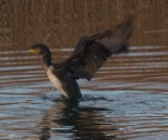 008 Cormorant stretching_edited-2