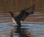 008 Cormorant stretching_edited-2