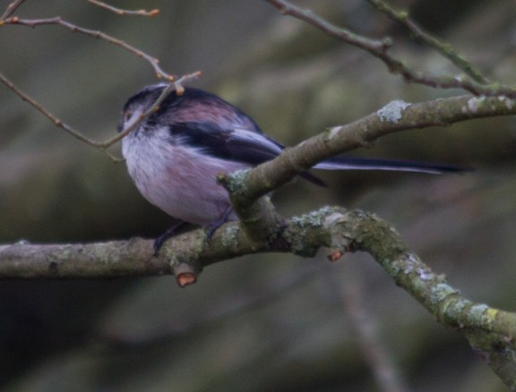 004 Long Tailed Tit_edited-2