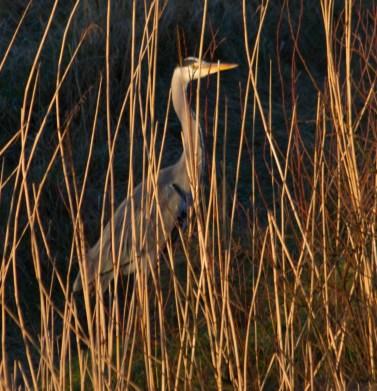 005 Camouflaged Heron_edited-2
