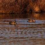 011 Pair of Gadwall_edited-2