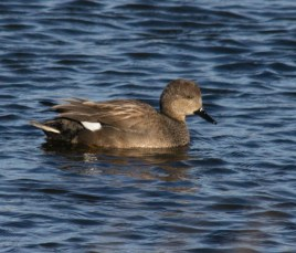 002 Female Gadwall_edited-2